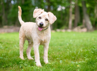 A cute Labrador Retriever/Poodle mixed breed puppy listening with a head tilt