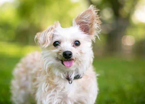 A cute small mixed breed dog with one upright ear and one floppy ear, sticking its tongue out