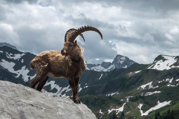 Photo sur Toile Gris traffic Bouquetin sur son rocher dans les Alpes