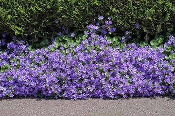 Nature,flowers,environment and flora: beautiful violet flowers Campanula Portenschlagiana planted between a street footpath and a hedge.