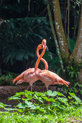 Two flamingos courting or playing in Singapore Zoo