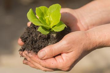 Frau hält jungen grünen Blattsalat in den Händen