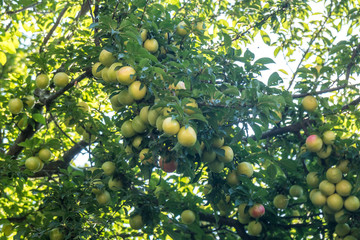 Young green plum fruit on a tree, fruit