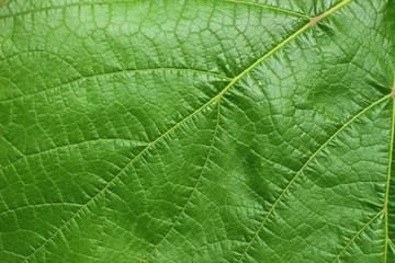 Close-up of grape leaves
