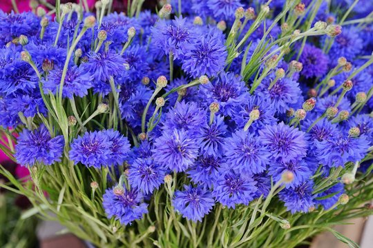 Blue bachelor's button cornflower (centaurea cyanus)