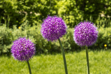 Decorative flower Onions round, Allium