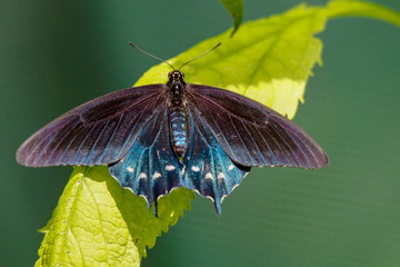 Closeup of a blue Pipevine Swallowtail Butterfly sitting on a Lime Green Leaf