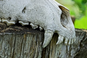 part of a white old animal skull with large teeth on a gray stump