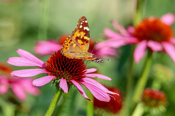 Painted Lady Butterfly sitting on a pink coneflower in the sunlight with wings up
