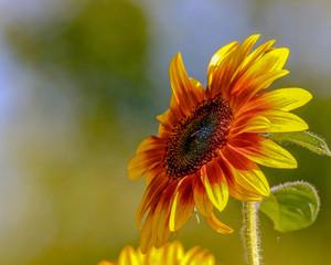 Closeup of a Brilliant Yellow Sunflower facing upward left toward the sunlight