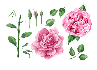 Set, collection of Rose flowers, petals and leaves isolated on white background.