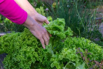 Skörd av sallad i trädgårdsland