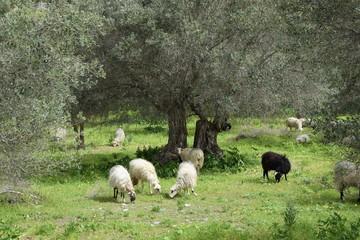 Schafe auf Kreta