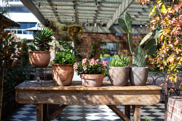Flowers, succulents and cacti in terracotta pots, Sydney Australia