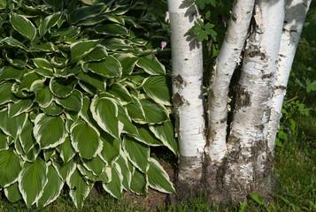 Four Birch clump