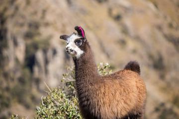 Baby llama near Cochabamba