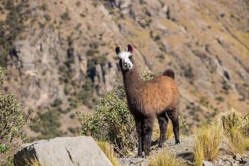 Baby llama on a mountain