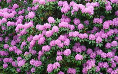 Fototapete - pink Rhododendron blooming in spring