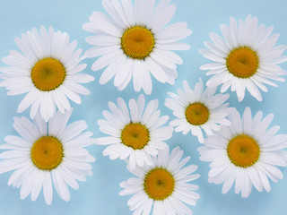 Composition of white chamomile  flowers on a blue background, top view, creative flat layout.
