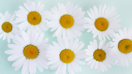 Composition frame of white chamomile chrysanthemum flowers on a green, mint, tiffany color background, top view, creative flat layout.