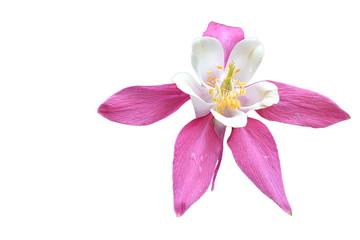 Flower aquilegia on a white background.