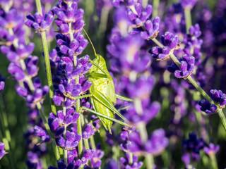 Green Grasshopper on lavender