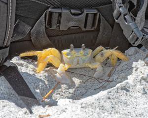 Crab using camera bag for shade