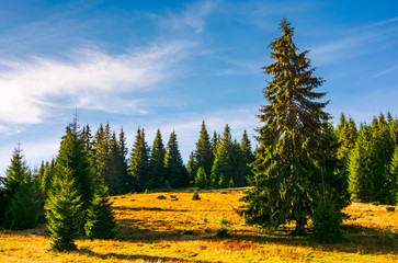 grassy glade among the spruce forest in autumn. huge tree in front of a scene. beautiful nature background. clean environment concept. pleasing weather with azure sky and few clouds