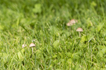 A small mushroom growing in the lawn.