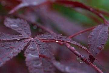 Acer Rain
