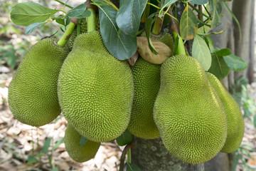 Jackfruit background on a tree.