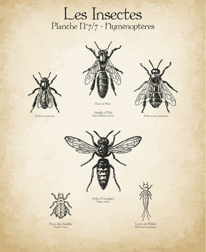 Gravures anciennes insectes N°7/7