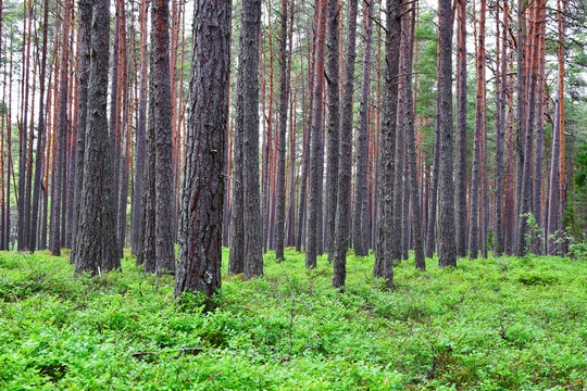 Forest landscape with pine tree trunks in summer day for abstract natural background.