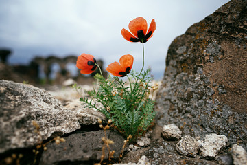 Red poppies growing among the stones on the ruins of Zvartnots Temple. Travelling to Armenia.