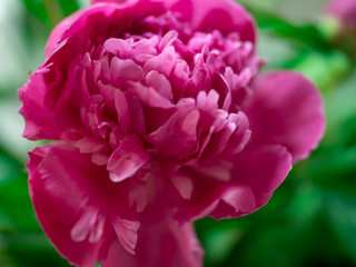 pink peony Bud, close-up, summer background