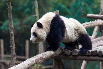 Fotobehang Panda panda in chengdu