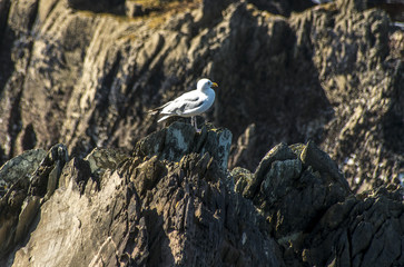 Möwe in Dunmore Head, Dingle, Irland
