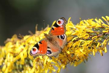 """Butterfly (""""Peacock eye"""")"""