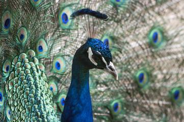 Indian peacock head