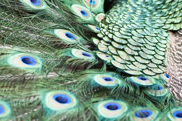 Indian peacock tail closeup