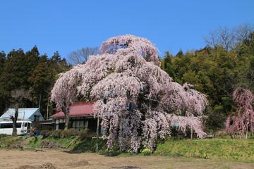 横田陣屋御殿桜(福島県・須賀川市)