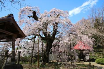 護真寺のサクラ(福島県・須賀川市)