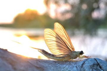 Long tailed mayfly or tisa mayfly