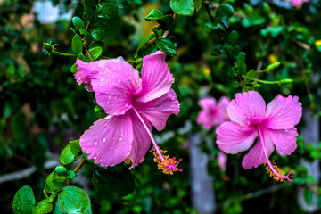 Blossom Chaba flowers Asia flowers.Shoe Flower or Hibiscus or Chinese rose, plant in the Hibiscus rosa sinensis.