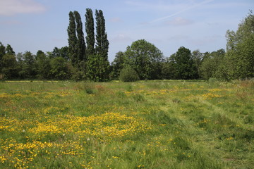 Field of yellow dandeliions flowers at a forest in Utrecht, The Netherlands.