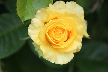 Yellow rose flowerhead flower in Rosarium in park in The Hague, the Netherlands