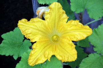 Yellow blossom flower of the courgette plant where from the flower the courgette will grow.