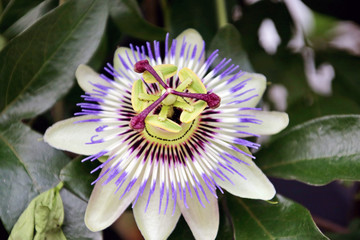 Purple white passionflower in a garden in the Netherlands.