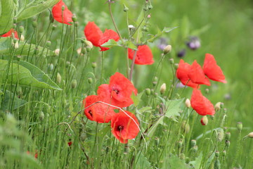 Poppies in the field with daisies and other wild flowers along roadside in the Netherlands
