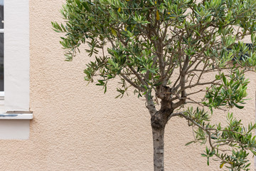 olive tree and branch leaf on house facade